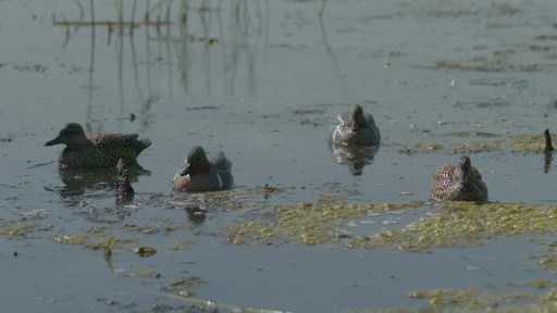 Avian-X Top Flight Teal Early Season Duck Decoys 6 Pack - image 2 from the video