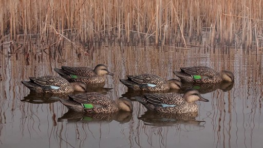 Avian-X Top Flight Teal Early Season Duck Decoys 6 Pack - image 6 from the video