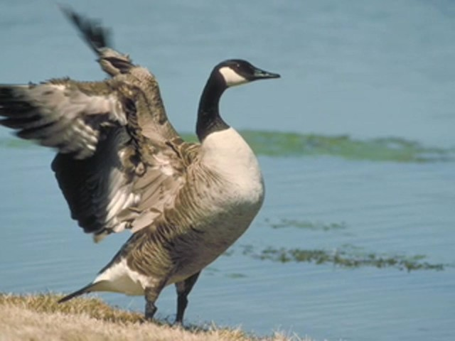 Knight and Hale® Goose Calling Kit - image 6 from the video