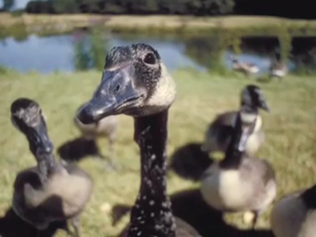 Knight and Hale® Pit Boss Goose Clucker Calling Kit - image 8 from the video