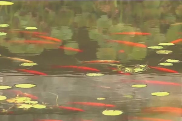 Benefits of Fish in Your Pond - image 2 from the video