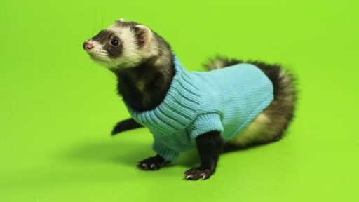 Ferret Facts - image 8 from the video