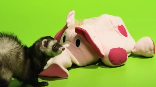 Ferret Facts - image 9 from the video