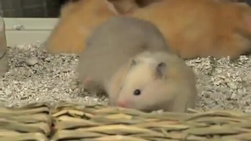 Hamsters - image 3 from the video